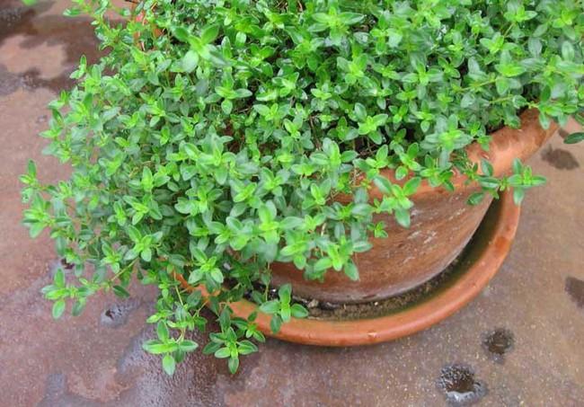 Mách bạn 10 loại cây trồng quanh nhà có khả năng xua đuổi kiến ba khoang hiệu quả - Ảnh 7.