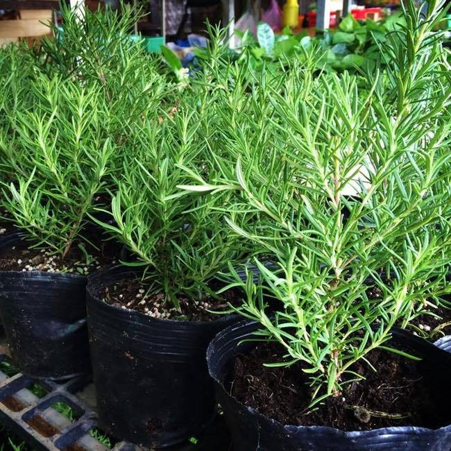 Mách bạn 10 loại cây trồng quanh nhà có khả năng xua đuổi kiến ba khoang hiệu quả - Ảnh 11.