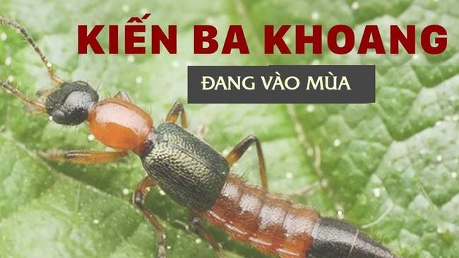 Độc tố của kiến ba khoang mạnh gấp 12-15 lần rắn hổ mang: Nhận biết kiến ba khoang và phòng tránh chất độc của chúng dính vào da - Ảnh 1.