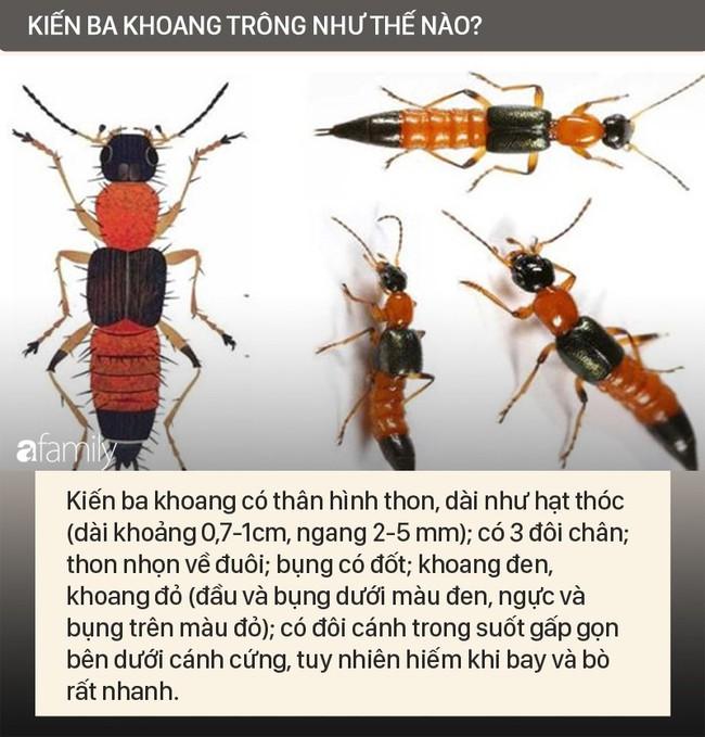 Độc tố của kiến ba khoang mạnh gấp 12-15 lần rắn hổ mang: Nhận biết kiến ba khoang và phòng tránh chất độc của chúng dính vào da - Ảnh 2.