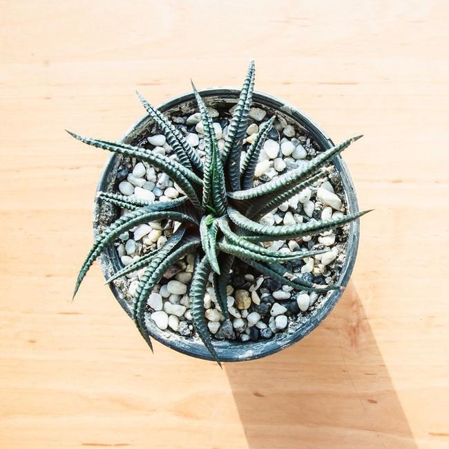 10 loài cây mọng nước xinh quá đỗi, bạn cần sắm ngay để trang trí nhà - Ảnh 5.