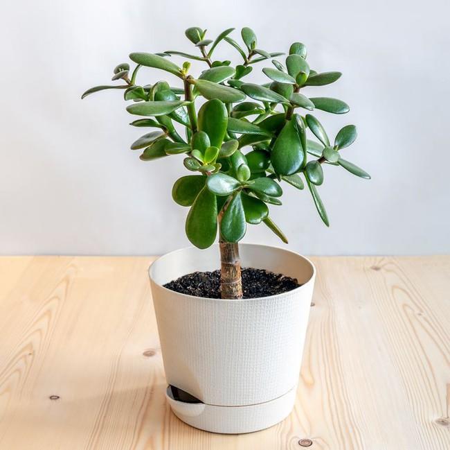 10 loài cây mọng nước xinh quá đỗi, bạn cần sắm ngay để trang trí nhà - Ảnh 8.