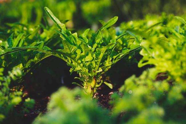 Người đàn ông tự trồng rau quả sạch trên mảnh vườn rộng 225m2 của gia đình ở ngoại ô - Ảnh 7.