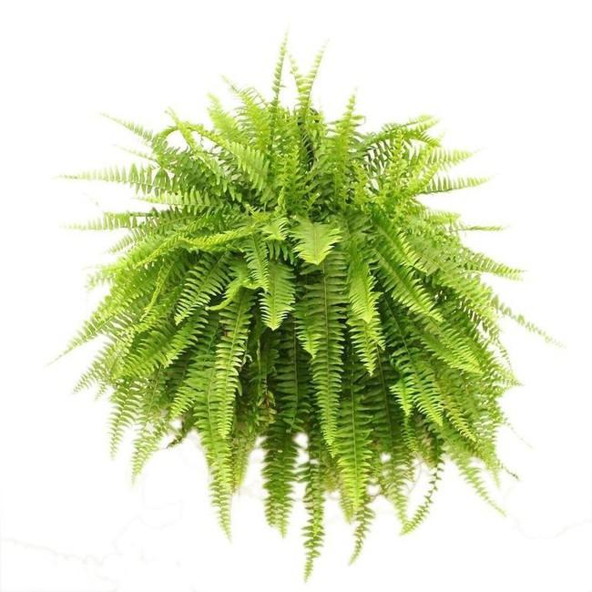 6 loại cây làm sạch không khí mà bạn nhất định phải sở hữu trong nhà trong tình hình hiện nay - Ảnh 2.