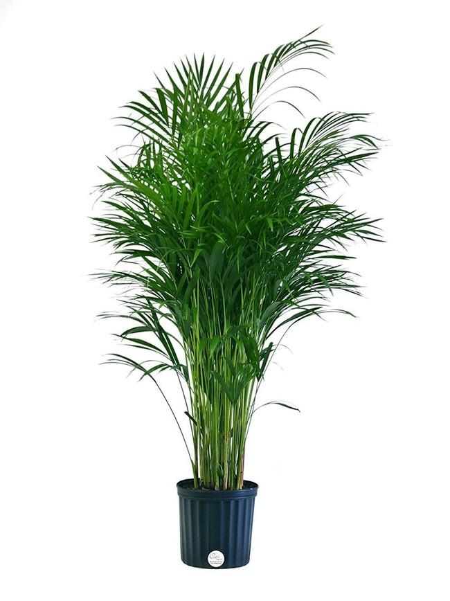 6 loại cây làm sạch không khí mà bạn nhất định phải sở hữu trong nhà trong tình hình hiện nay - Ảnh 3.