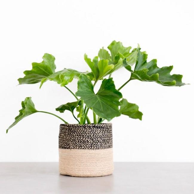 6 loại cây làm sạch không khí mà bạn nhất định phải sở hữu trong nhà trong tình hình hiện nay - Ảnh 6.
