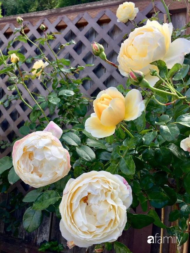 Vườn hồng đầy hoa và nắng của người phụ nữ Việt yêu thích trồng hồng ở Mỹ - Ảnh 16.