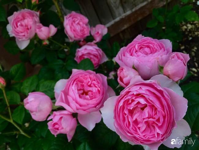 Vườn hồng đầy hoa và nắng của người phụ nữ Việt yêu thích trồng hồng ở Mỹ - Ảnh 13.