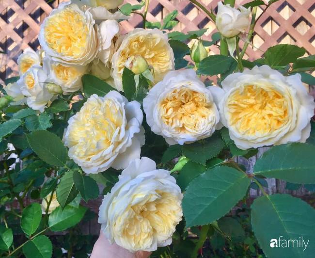 Vườn hồng đầy hoa và nắng của người phụ nữ Việt yêu thích trồng hồng ở Mỹ - Ảnh 12.