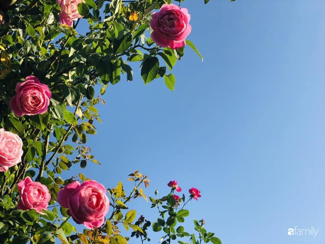 70 gốc hồng khoe hương sắc trên sân thượng nhờ tình yêu và tâm huyết chăm cây của cô giáo xứ Thanh - Ảnh 21.