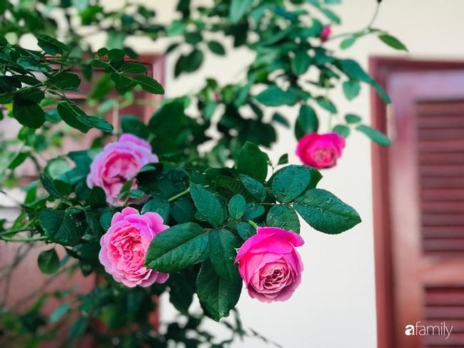 70 gốc hồng khoe hương sắc trên sân thượng nhờ tình yêu và tâm huyết chăm cây của cô giáo xứ Thanh - Ảnh 19.