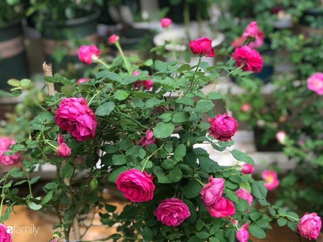 70 gốc hồng khoe hương sắc trên sân thượng nhờ tình yêu và tâm huyết chăm cây của cô giáo xứ Thanh - Ảnh 6.