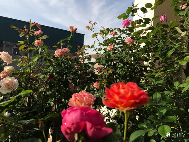 70 gốc hồng khoe hương sắc trên sân thượng nhờ tình yêu và tâm huyết chăm cây của cô giáo xứ Thanh - Ảnh 5.