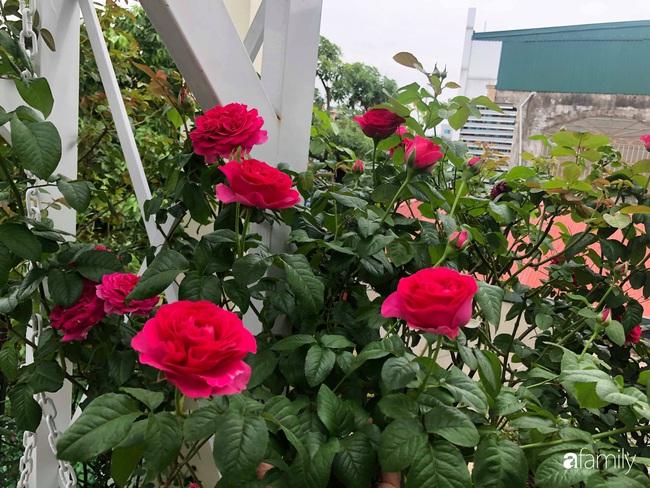 70 gốc hồng khoe hương sắc trên sân thượng nhờ tình yêu và tâm huyết chăm cây của cô giáo xứ Thanh - Ảnh 4.