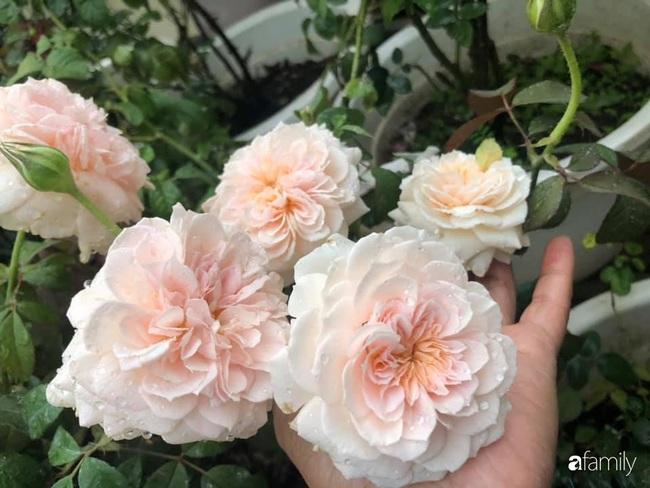 70 gốc hồng khoe hương sắc trên sân thượng nhờ tình yêu và tâm huyết chăm cây của cô giáo xứ Thanh - Ảnh 12.