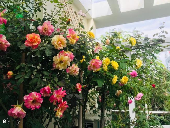 70 gốc hồng khoe hương sắc trên sân thượng nhờ tình yêu và tâm huyết chăm cây của cô giáo xứ Thanh - Ảnh 1.