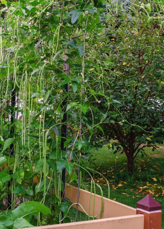 Khu vườn 185m2 phủ xanh rau ngon trái ngọt của người đàn ông yêu trồng trọt suốt 19 năm qua - Ảnh 6.