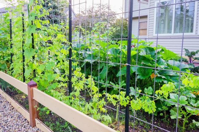 Khu vườn 185m2 phủ xanh rau ngon trái ngọt của người đàn ông yêu trồng trọt suốt 19 năm qua - Ảnh 3.
