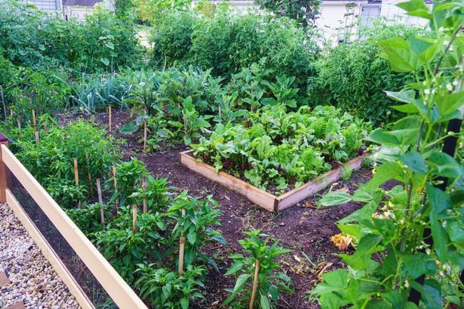 Khu vườn 185m2 phủ xanh rau ngon trái ngọt của người đàn ông yêu trồng trọt suốt 19 năm qua - Ảnh 2.