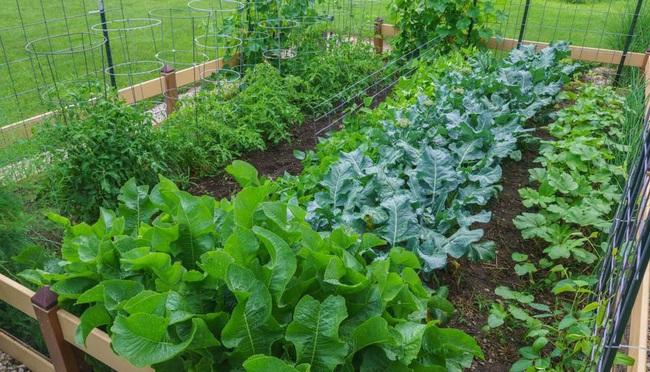 Khu vườn 185m2 phủ xanh rau ngon trái ngọt của người đàn ông yêu trồng trọt suốt 19 năm qua - Ảnh 1.