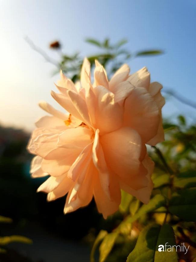 Vườn rau mùa đông nhiều nắng xanh tươi đủ loại của mẹ đảm ở Ninh Hiệp, Hà Nội - Ảnh 22.