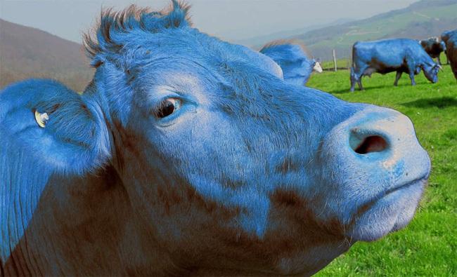 Sự thật khó tin: Hàng triệu người Mỹ nghĩ rằng sữa chocolate được vắt trực tiếp từ bò nâu - Ảnh 2.