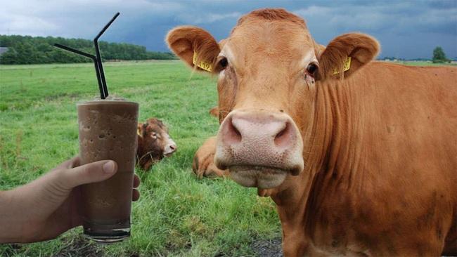Sự thật khó tin: Hàng triệu người Mỹ nghĩ rằng sữa chocolate được vắt trực tiếp từ bò nâu - Ảnh 1.