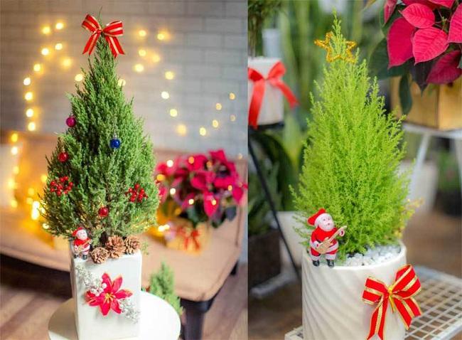 Giá chỉ từ 350.000 đồng, những cây thông Noel tươi đang hấp dẫn người tiêu dùng trong dịp Giáng sinh sắp đến - Ảnh 4.