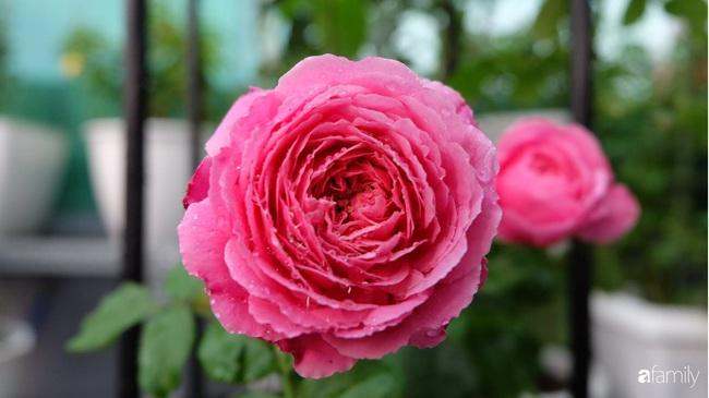 Sân thượng hoa hồng đua nhau khoe sắc ngọt ngào của nữ kế toán ở TP HCM - Ảnh 17.
