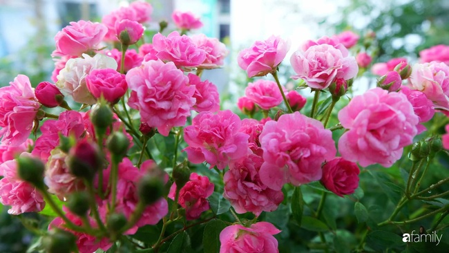 Sân thượng hoa hồng đua nhau khoe sắc ngọt ngào của nữ kế toán ở TP HCM - Ảnh 16.