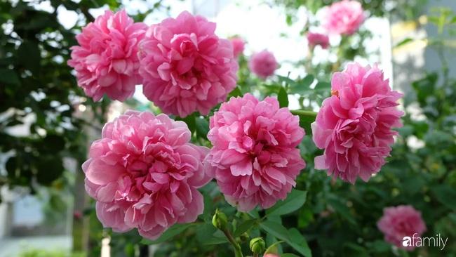 Sân thượng hoa hồng đua nhau khoe sắc ngọt ngào của nữ kế toán ở TP HCM - Ảnh 14.