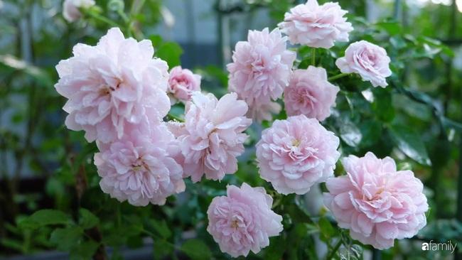 Sân thượng hoa hồng đua nhau khoe sắc ngọt ngào của nữ kế toán ở TP HCM - Ảnh 12.