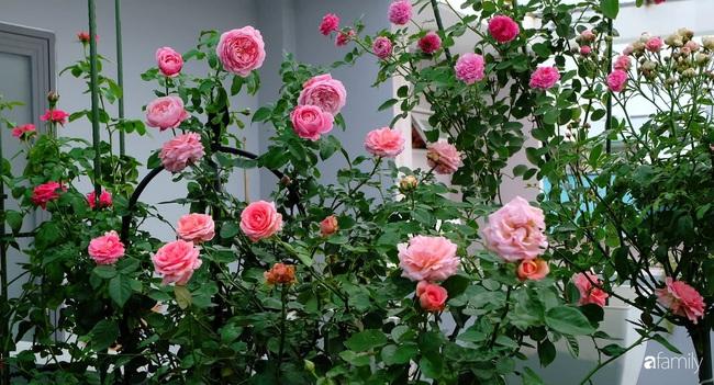Sân thượng hoa hồng đua nhau khoe sắc ngọt ngào của nữ kế toán ở TP HCM - Ảnh 2.
