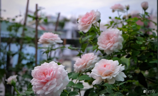 Sân thượng hoa hồng đua nhau khoe sắc ngọt ngào của nữ kế toán ở TP HCM - Ảnh 11.