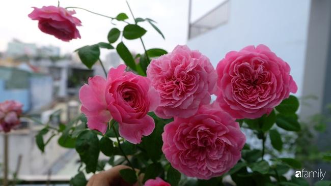 Sân thượng hoa hồng đua nhau khoe sắc ngọt ngào của nữ kế toán ở TP HCM - Ảnh 10.