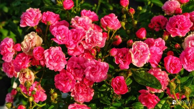 Sân thượng hoa hồng đua nhau khoe sắc ngọt ngào của nữ kế toán ở TP HCM - Ảnh 3.