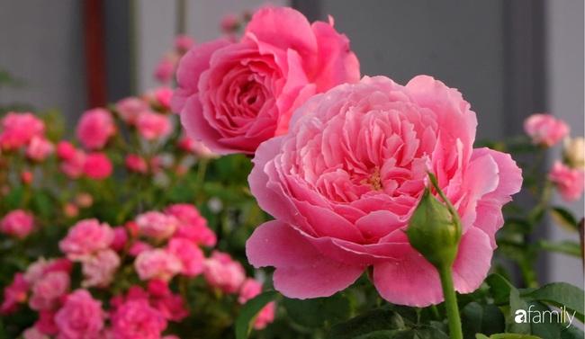 Sân thượng hoa hồng đua nhau khoe sắc ngọt ngào của nữ kế toán ở TP HCM - Ảnh 7.