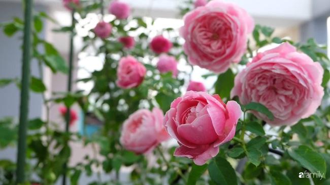 Sân thượng hoa hồng đua nhau khoe sắc ngọt ngào của nữ kế toán ở TP HCM - Ảnh 6.