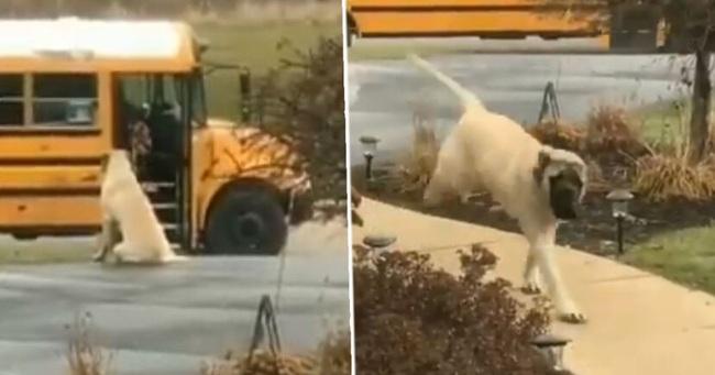 Chú chó ngoan nhất năm: Sáng nào cũng đợi cô chủ nhỏ lên xe bus an toàn rồi mới vào nhà  - Ảnh 2.