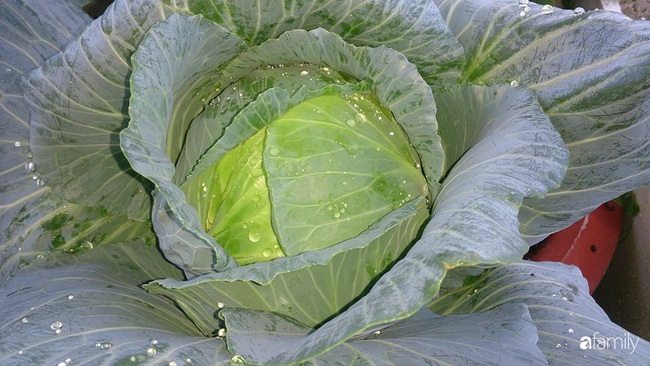 Sân thượng trồng đủ loại rau quả sạch như vườn dưới đất ở Vũng Tàu - Ảnh 20.