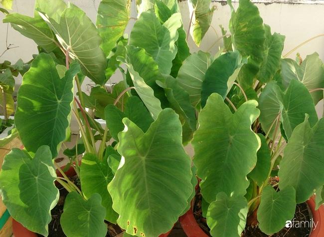 Sân thượng trồng đủ loại rau quả sạch như vườn dưới đất ở Vũng Tàu - Ảnh 13.