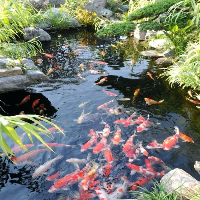 Thiết kế hồ cá tăng cảm giác gần gũi thiên nhiên cho nhà phố - Ảnh 17.