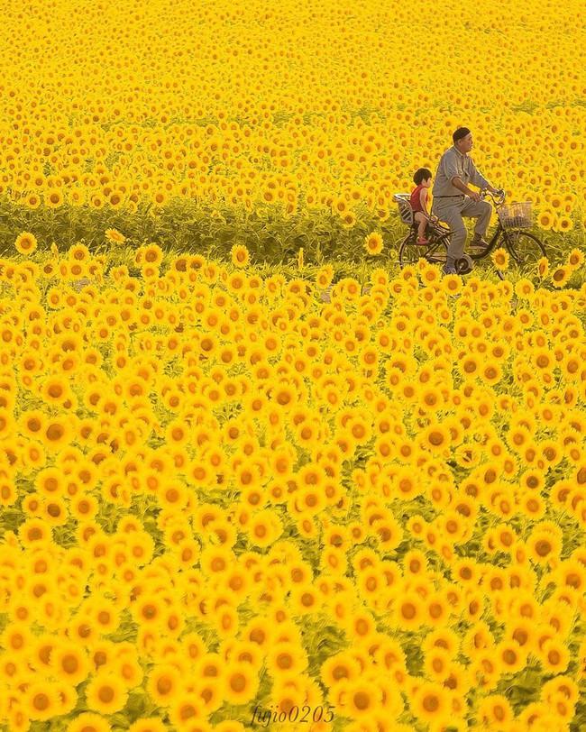 Cánh đồng hoa hướng dương triệu bông đẹp như bức tranh khổng lồ vào mùa thu ở Nhật Bản - Ảnh 4.