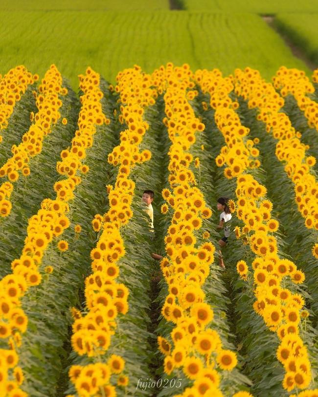 Cánh đồng hoa hướng dương triệu bông đẹp như bức tranh khổng lồ vào mùa thu ở Nhật Bản - Ảnh 7.