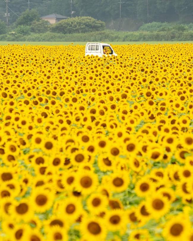 Cánh đồng hoa hướng dương triệu bông đẹp như bức tranh khổng lồ vào mùa thu ở Nhật Bản - Ảnh 1.
