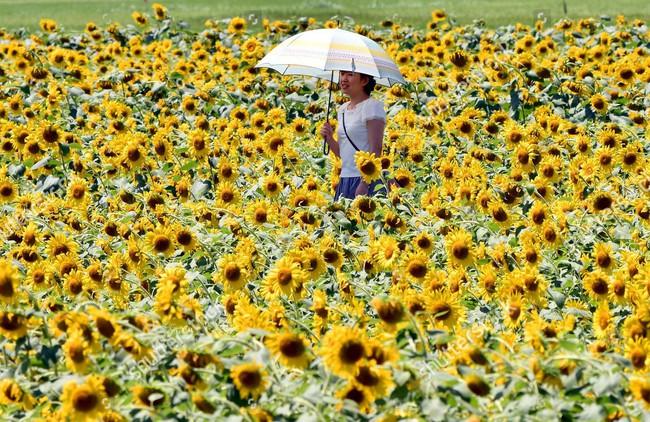 Cánh đồng hoa hướng dương triệu bông đẹp như bức tranh khổng lồ vào mùa thu ở Nhật Bản - Ảnh 12.