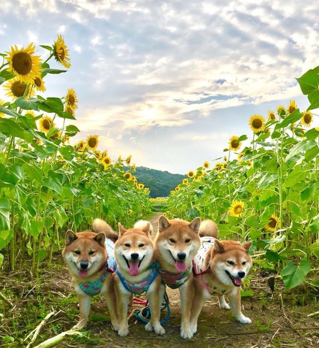 Cánh đồng hoa hướng dương triệu bông đẹp như bức tranh khổng lồ vào mùa thu ở Nhật Bản - Ảnh 14.
