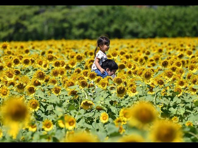 Cánh đồng hoa hướng dương triệu bông đẹp như bức tranh khổng lồ vào mùa thu ở Nhật Bản - Ảnh 2.