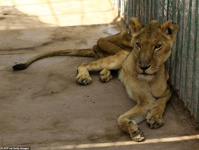 Xót xa hình ảnh chúa sơn lâm sư tử chỉ còn da bọc xương, đờ đẫn di chuyển trong vườn thú ở Châu Phi - ảnh 2