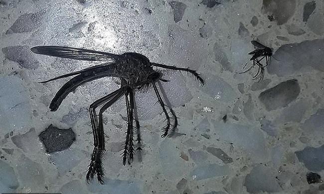Muỗi khổng lồ bay vào nhà dân khiến internet khiếp hãi - Ảnh 1.